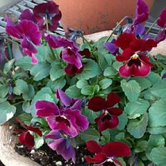 花の色、大好き/植木鉢も素敵/近所で/👀📷✨ 今朝は、うっかり投稿するのを忘れてしまい…(1枚目)