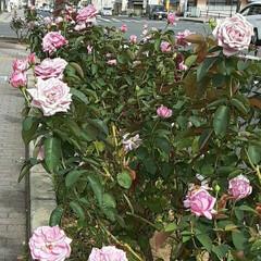 👀📷✨/先日/薔薇公園/回り 薔薇公園の回り、街路の花壇に  植えてあ…(2枚目)