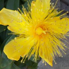 先日 ご近所の植え込みに咲いて  いました💛(2枚目)