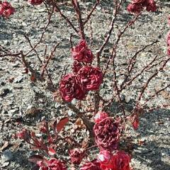 👀📷✨/晴天だった/昨日/エフピコアリーナふくやまにて 秋には綺麗に咲き誇っていた  薔薇たちが…