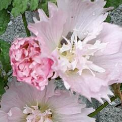 スプリングセレブリティーズ/先日/買い物帰りに咲いていました おっはよう ございま~す☺  6月20日…(2枚目)