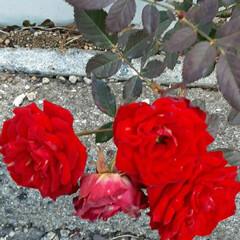 ミニミニ薔薇/先日/買い物に行く途中/👀📷✨ おはようございます☺  1月19日(火)…