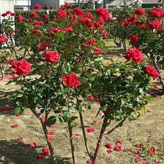 薔薇公園/👀📷✨/薔薇 おはようございます☺  11月16日(月…(3枚目)