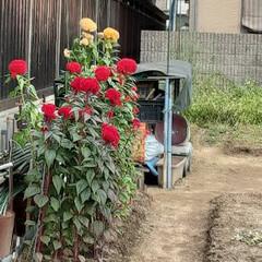 「出勤途中の畑に咲くケイトウの花  背が高…」(2枚目)