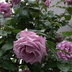 「私の好きな紫っぽい🌹の花です  先日、買…」(3枚目)