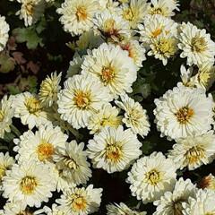 通勤途中の畑で/👀📷✨ 小さな小さな、花も葉っぱも  菊に見える…