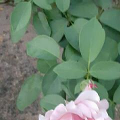 👀📷✨/買い物帰り/薔薇/花 おはようございます☺  8月31日(月)…