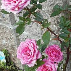 ミニ薔薇/先日/買い物帰りに/👀📷✨ おはようございます☺  1月3日(日) …