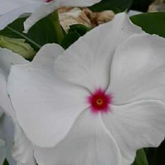 先日/出先で/咲いていました おっはよう ございま~す☺  7月10日…(1枚目)