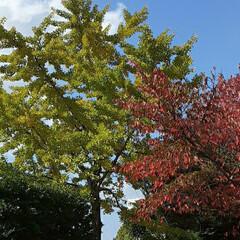 緑町公園/👀📷✨ 紅葉や、落ち葉さえ、絵になるようで  綺…(4枚目)