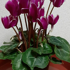 小さい葉牡丹/シクラメン2色/いつも👀📷✨している/お花屋さん/お買い物 シクラメン買ってきました🎵✌  簡単な寄…(3枚目)
