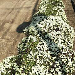「出勤途中の畑に咲いてる  小さな菊、黄み…」(8枚目)
