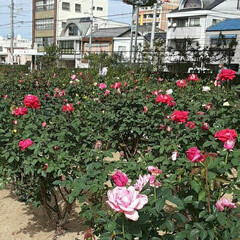 昨日/👀📷✨/もうすぐ秋の薔薇展/福山市/薔薇公園 🌹秋の薔薇展が10/24・25 日に  …