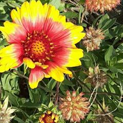 先日/近くの丘で/👀📷✨ ''ガイラルディア''の花だと、教えて …