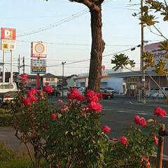 買い物帰り/👀📷✨ 街路樹と薔薇🌹