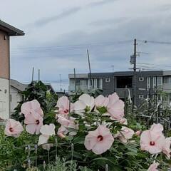 先日/近所に/咲いていました 今日も晴れです!💦  薄いピンクの大きな…(2枚目)
