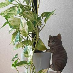 子猫のマイケルと/2~3倍に/成長/ポトス おはようございます☺  10月30日(金…(2枚目)