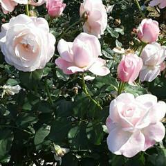 薔薇公園/👀📷✨/薔薇 おはようございます☺  11月15日(日…