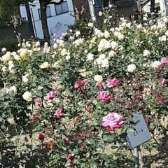 「薔薇公園の薔薇、  先日👀📷✨しました🌹」(3枚目)