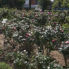昨日/👀📷✨/もうすぐ秋の薔薇展/福山市/薔薇公園 🌹秋の薔薇展が10/24・25 日に  …(6枚目)