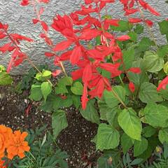 赤いサルビア/マリーゴールド/買い物帰り/👀📷✨/季節の花/花 おはようございます☺  10月8日(木)…