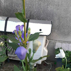 昨日/買い物帰りに 白い桔梗が目に止まりました❗  紫が好き…(4枚目)