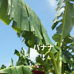 👀📷✨/バナナの花/バナナ/バナナの栽培/芦田川河川敷 河川敷のバナナを見て来ました🍌  スマホ…