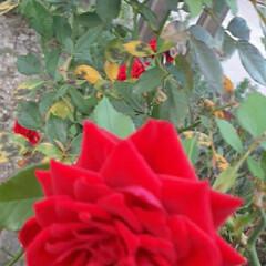 買い物帰りに/薔薇/👀📷✨ おはようございます☺  10月20日(火…