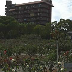 昨日/👀📷✨/もうすぐ秋の薔薇展/福山市/薔薇公園 🌹秋の薔薇展が10/24・25 日に  …(4枚目)