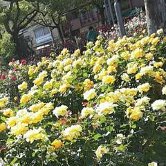 「薔薇公園の薔薇、  先日👀📷✨しました🌹」(2枚目)