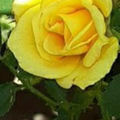 ミニ薔薇が/可愛い/出勤途中/咲いていました おっはよう ございま~す(#^.^#) …(1枚目)