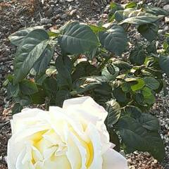 ピース/薔薇/先日/👀📷✨ 先日の、エフピコアリーナで  👀📷✨した…