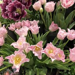 ピンク いつも通る花屋さん🌷🌼😊雛まつりと一緒に…