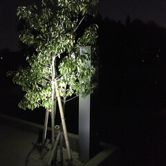 ソヨゴ/ソーラー式ライト/シンボルツリー/外構/ライトアップ ソーラー式のライトで、 シンボルツリーラ…