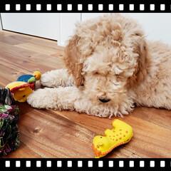 fuwafuwa/ぬいぐるみ/パピー/子犬/可愛い/ゴールデンドゥードル/... どれで遊ぼうかな~??