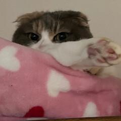 猫達との暮らし/スコテッシュ キャリコ/スコテッシュ、癒される/お正月2020 ルル&のん ルルちゃん。食器棚の上でチラ…