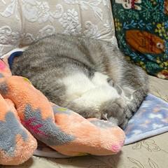猫達の冬の暮らし/スコテッシュ、癒される/お正月2020/バレンタイン2020 おはようございます🌞 のんちゃん。もぞも…