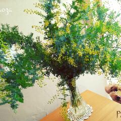 トイプードル/ミモザ 🔸ミモザ🌿  お花屋さんでミモザを購入✨…
