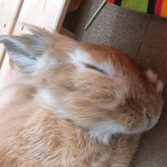 うさぎ ウサギの昼寝 11歳のおばあちゃんウサギ…