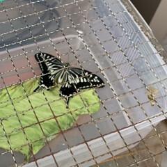 アゲハ蝶/羽化/ビックリ/自己満/幸せ/ほっこり 庭にいたアオムシ。 避難してからすぐに動…