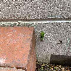 花壇/ほっこり/幸せ/おうち時間/アゲハ蝶 我が家の花壇にもアオムシが‼︎ 何処から…(1枚目)
