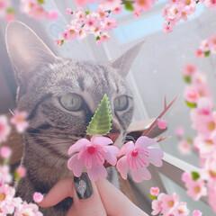 桜の季節/猫との暮らし/きじとら猫 🌸桜とリンちゃん。 娘が可愛く加工してく…(1枚目)