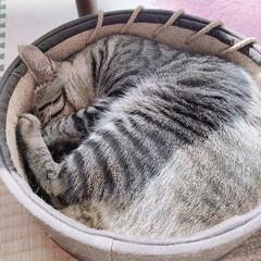 きじとら猫 まん丸ちゃんでお昼寝してました。 今日は…