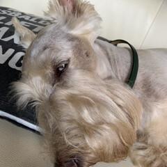 犬大好き/犬との暮らし/犬派 ただ今お昼寝中💤 完全にイッちゃってます😂(1枚目)