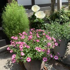 花が好き/花のある暮らし/ガーデニング 3回の切り戻しで3度目のお花がキレイに咲…(1枚目)