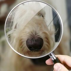 犬大好き/犬との暮らし/犬派 桃君の鼻😁 顔もデカいが鼻もデカい🤣(1枚目)