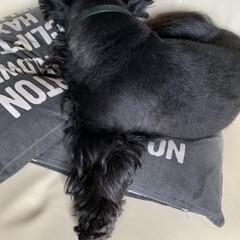犬との暮らし/犬大好き/犬派 爆睡中の武君😪💤 変な寝かた(笑) 寝れ…(1枚目)