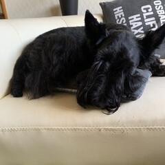犬大好き/犬との暮らし/犬派 今日は水遊びの後シャンプー&カット✂ 疲…(1枚目)