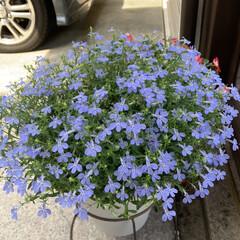 花が好き/花のある暮らし/ガーデニング 3回の切り戻しで3度目のお花がキレイに咲…(2枚目)