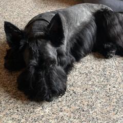 犬との暮らし/犬好き/犬派 今日は2ワンの暑さ対策☀️ 3mmでバリ…(2枚目)
